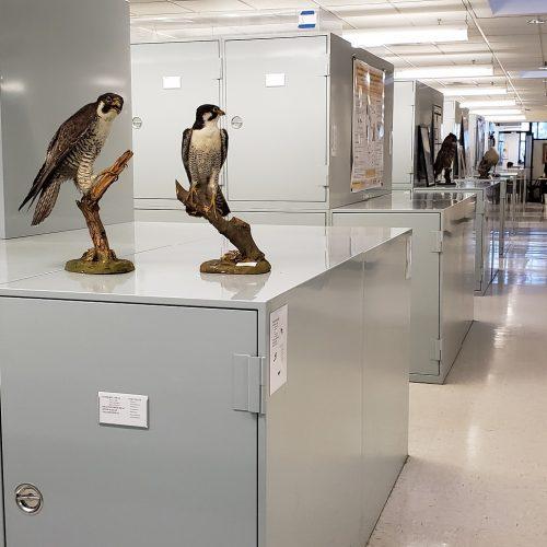 MVZ Bird Gallery