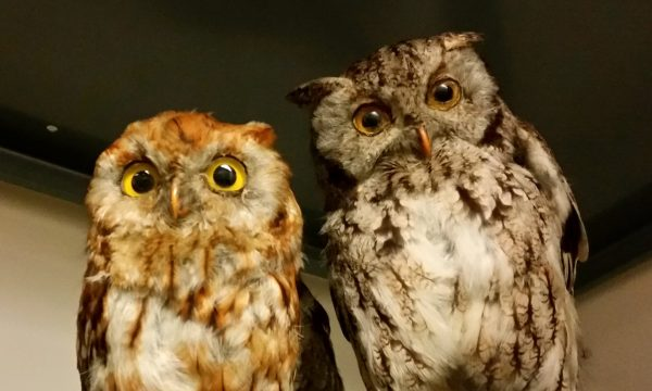 owl-taxidermy_16884785547_cropped